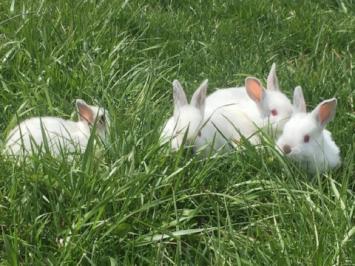 Rabbit Liver