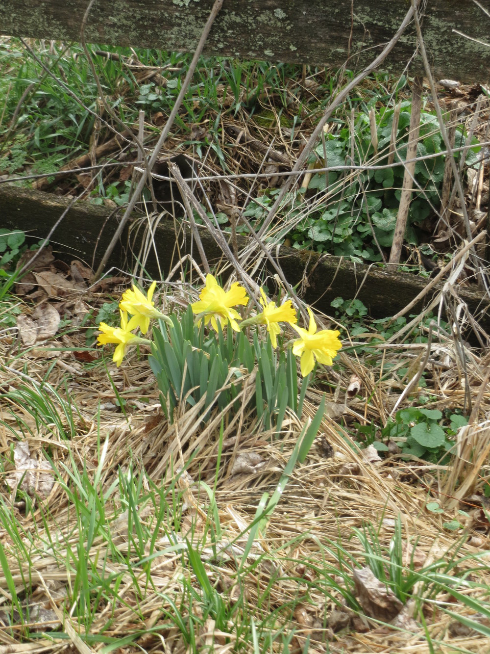 THE TRIUMPH OF APRIL: ... A FERAL DAFFODIL AGAINST AN OLD FENCE,  ... A SWOLLEN CREEK, ... and legs of lamb!