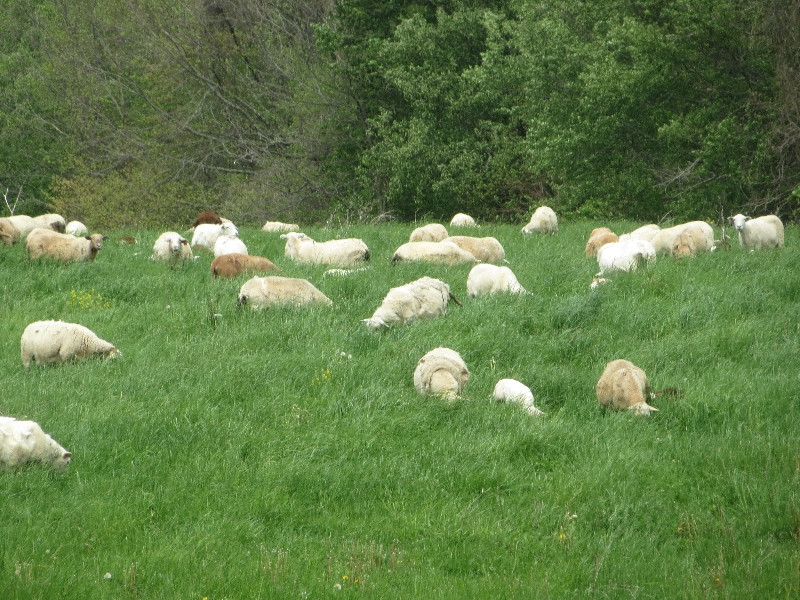 BELLY DEEP: THE EWES ARE FINALLY BELLY-DEEP IN GRASS, and are loving it.