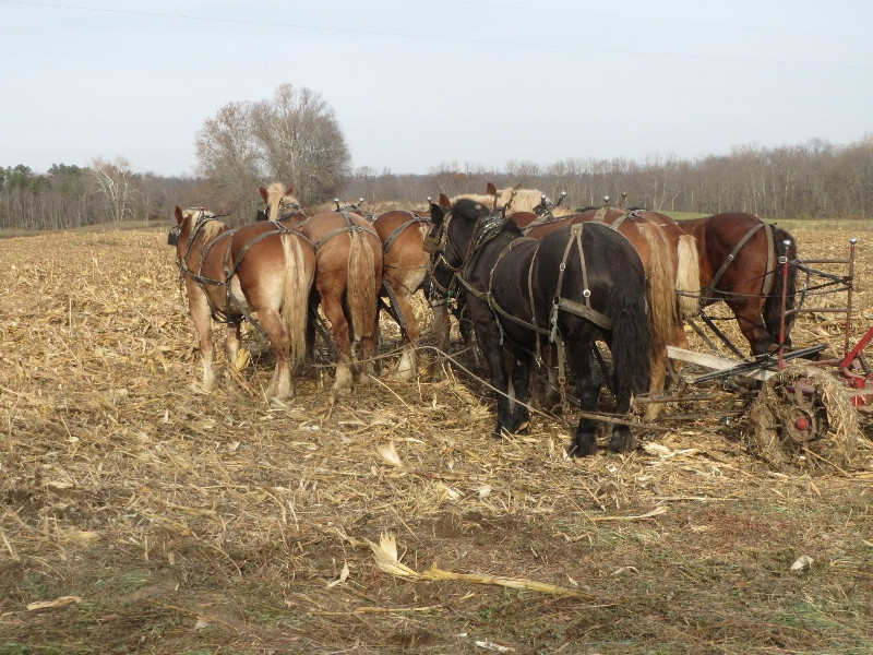 BEAUTIFUL FANNIES: DRAFT HORSES AT REST, while planting triticale in the harvested organic corn field.