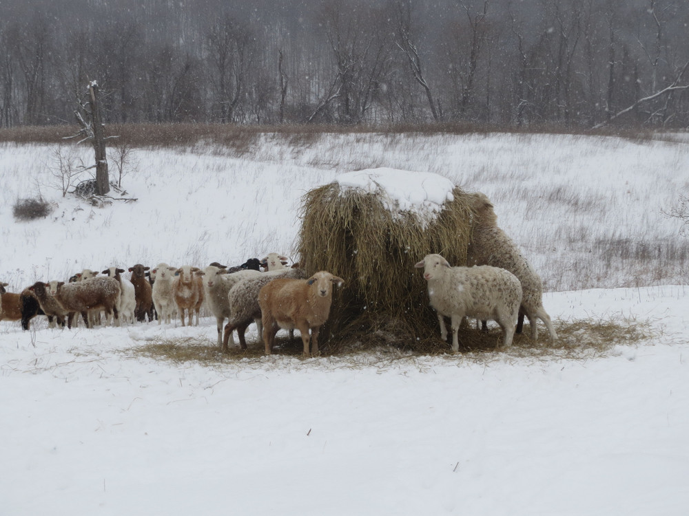 WEATHERING WEATHER: LIVESTOCK ARE ALWAYS DRESSED FOR THE WEATHER