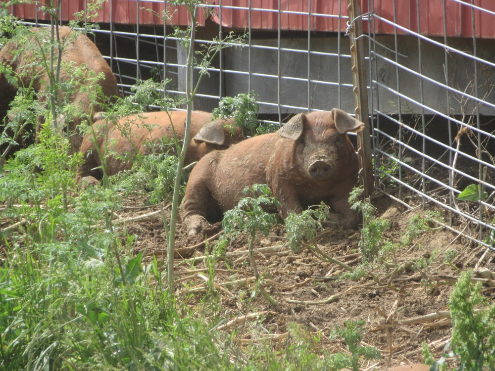 HOG HEAVEN: EIGHT HOGS ARE IN HEAVEN. Our pigs have nearly doubled their weight in the past two weeks, and we are preparing to move them to pasture.