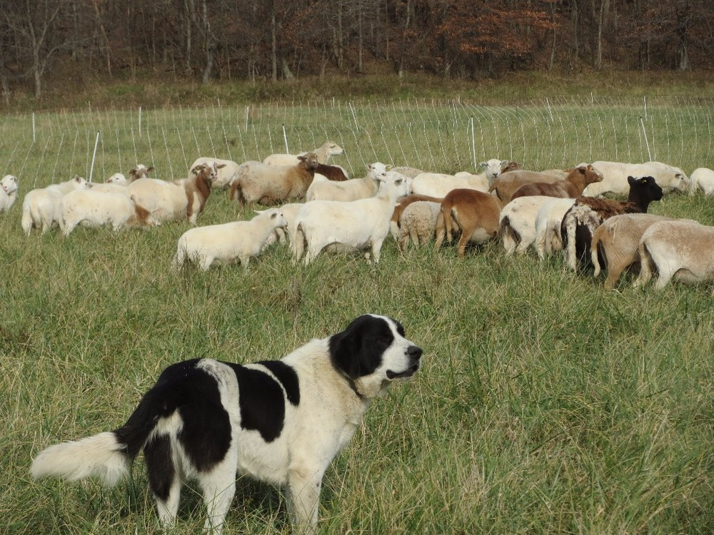 DECEMBER LAMB: AS THE MONTH TURNS, EWES AND LAMBS, ARE DEEP IN GRASS, PREPARING FOR NEXT STEPS.