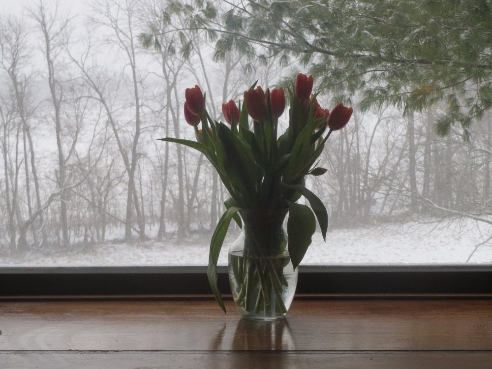WINTER WONDERS: MAJESTIC TULIPS STANDING BEFORE THE STORM.