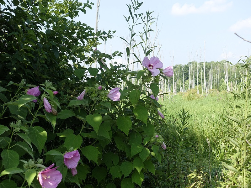 MIDSUMMER'S DAY DREAM: LATE IN JULY, WILD HIBISCUS DECORATE OUR WETLANDS WITH EXPLOSIONS OF PINK.