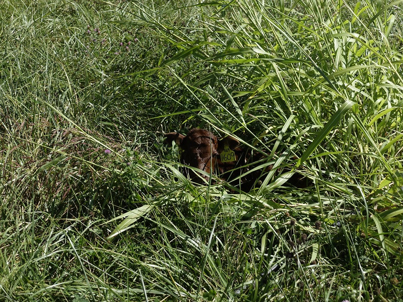 CALVING SEASON: THIS NEWBORN FINDS COMFORT IN TALL GRASS BY MAKING A NEST.