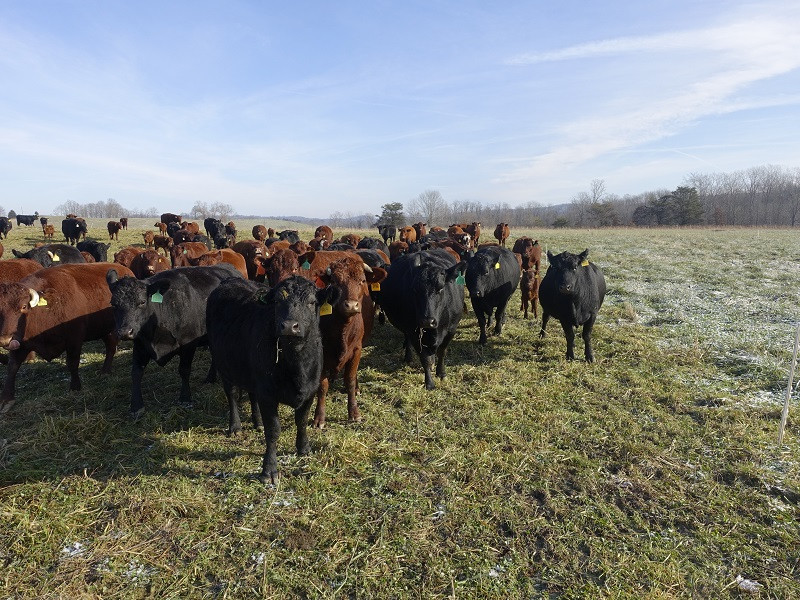 WINTER FEED: THESE COWS AWAIT THE FENCE TO BE MOVED TO GRAZE ANOTHER STRIP OF STOCKPILED FESCUE.