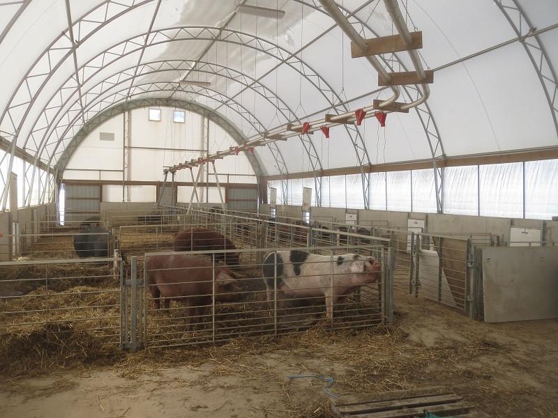 Rodale Hogs