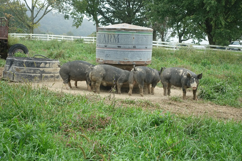 Fattening Hogs