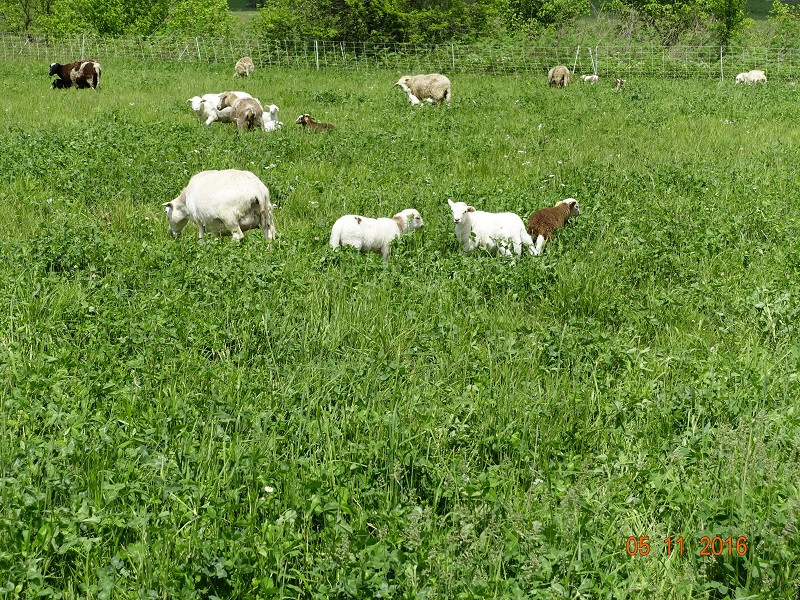 Grassfed Lambs