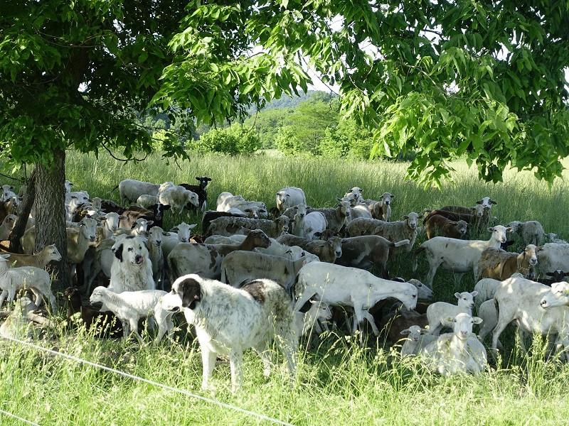 Grassfed Lamb & Dogs
