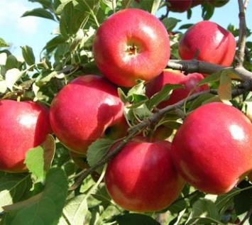 Johnathan Apples
