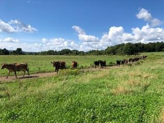 Laneway Cows