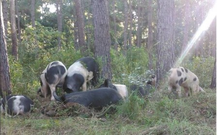 Forest-Fed Pork