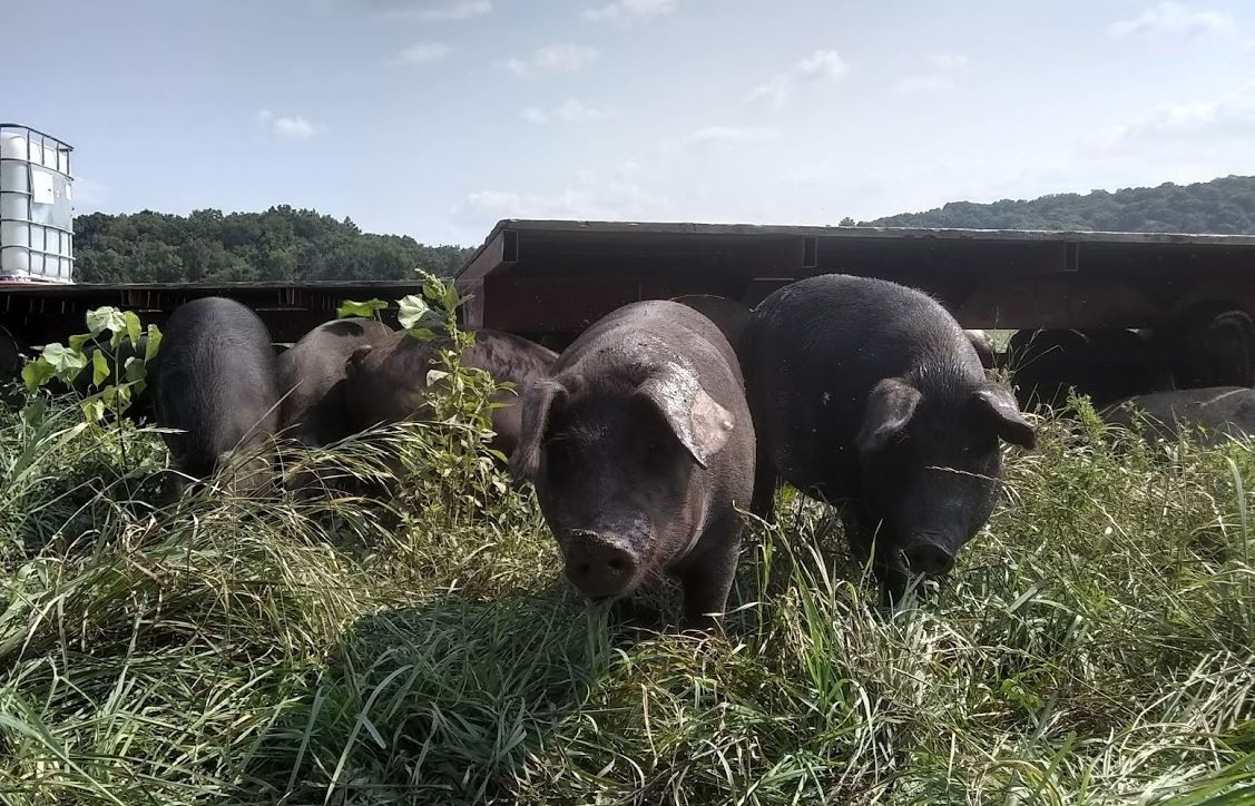 Why Pastured Pork?