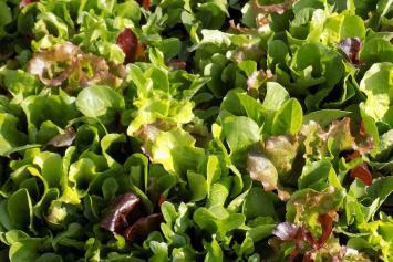 Loose Leaf Lettuce