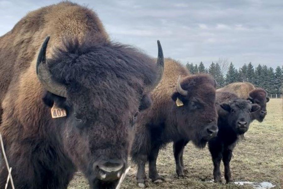 Grassfed Bison