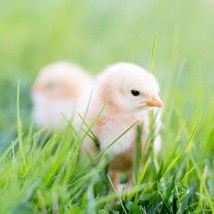 Chick Rental