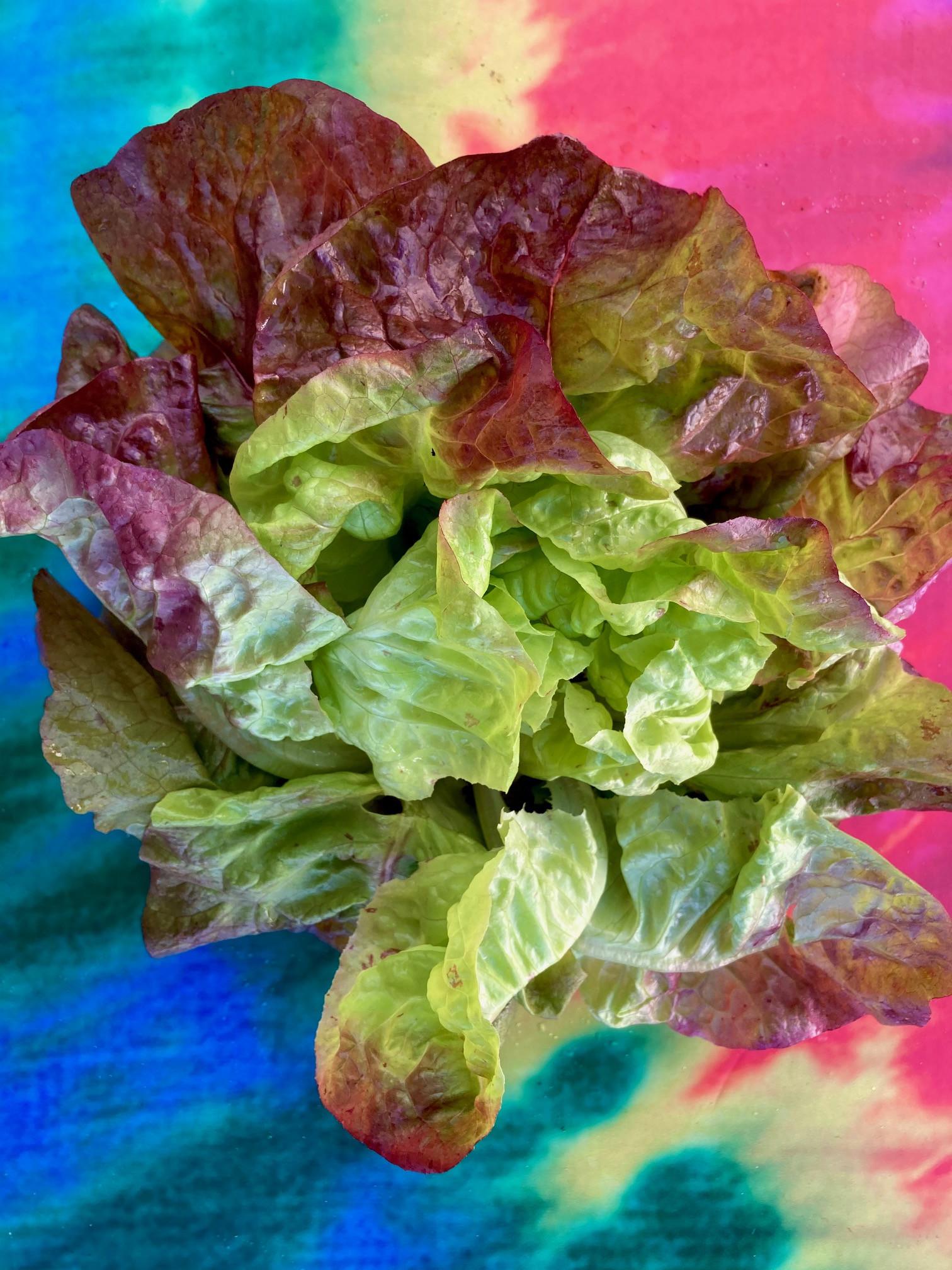 Lettuce, Red Butterhead