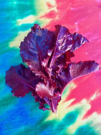 Lettuce, OutRedgeous Romaine