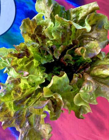 Lettuce, Lovelock