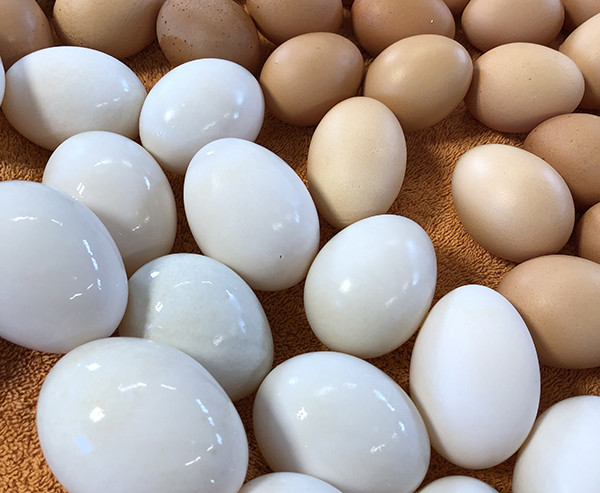 Duck Eggs, 1 Dozen