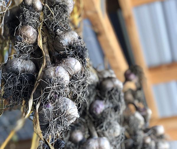 Garlic, Per Bulb