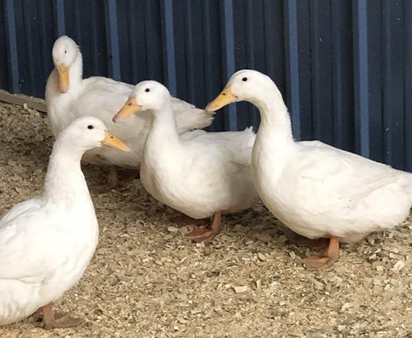 Duck Eggs, 1/2 Dozen Per Week - 3 Months