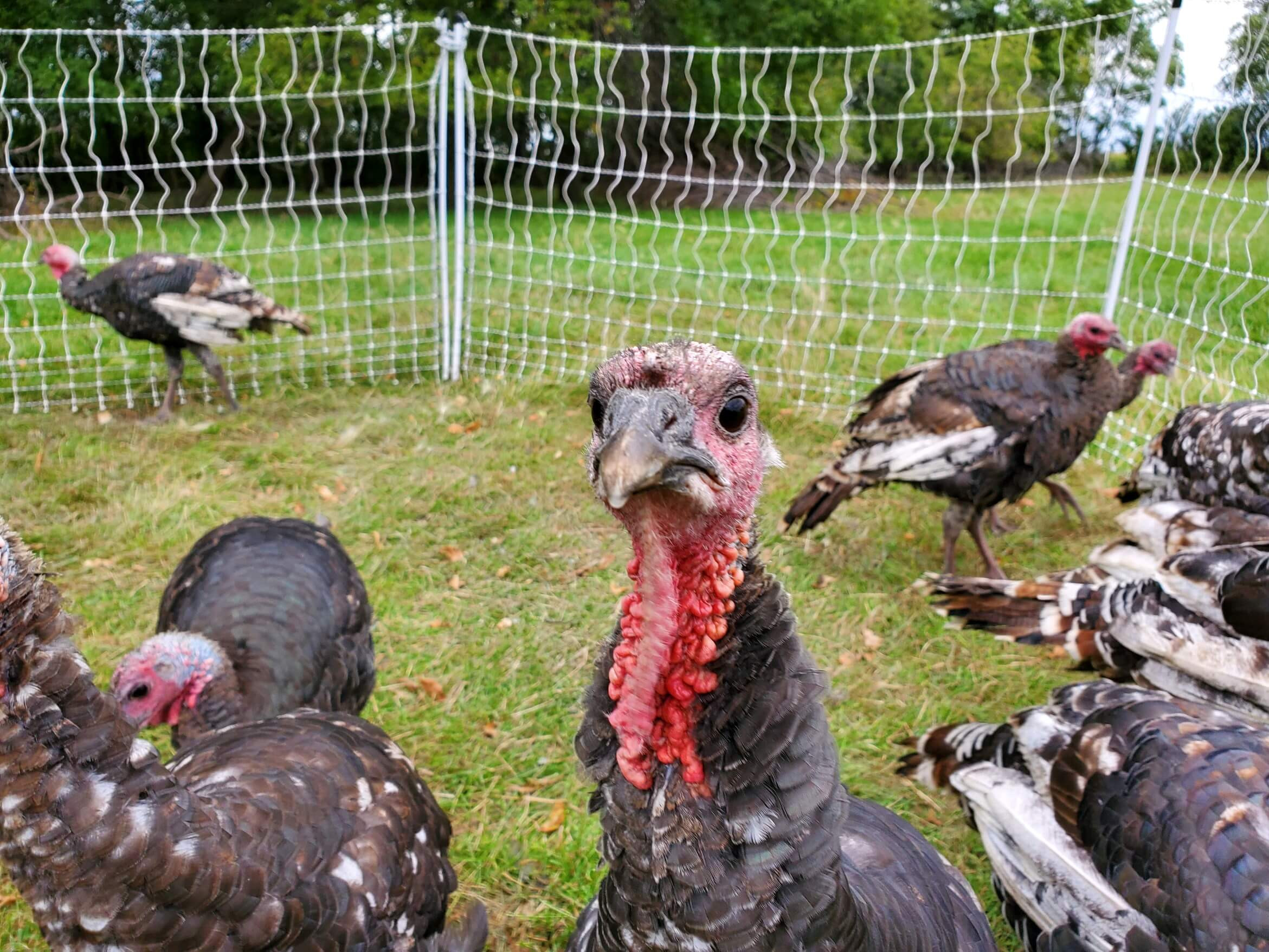 2019 Pastured Turkeys