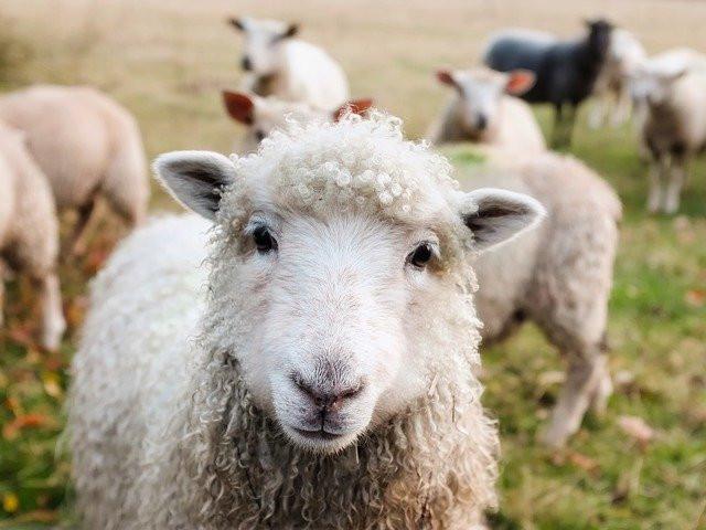 Jolly Sheep Ranch