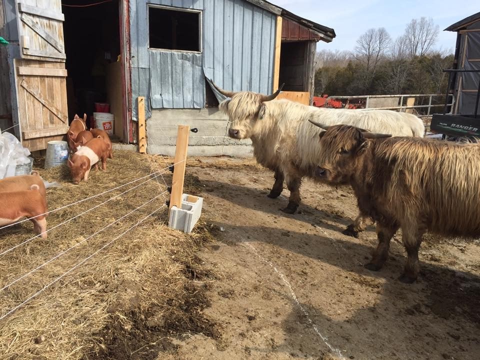 cows-watching-piglets-outside-april.jpg