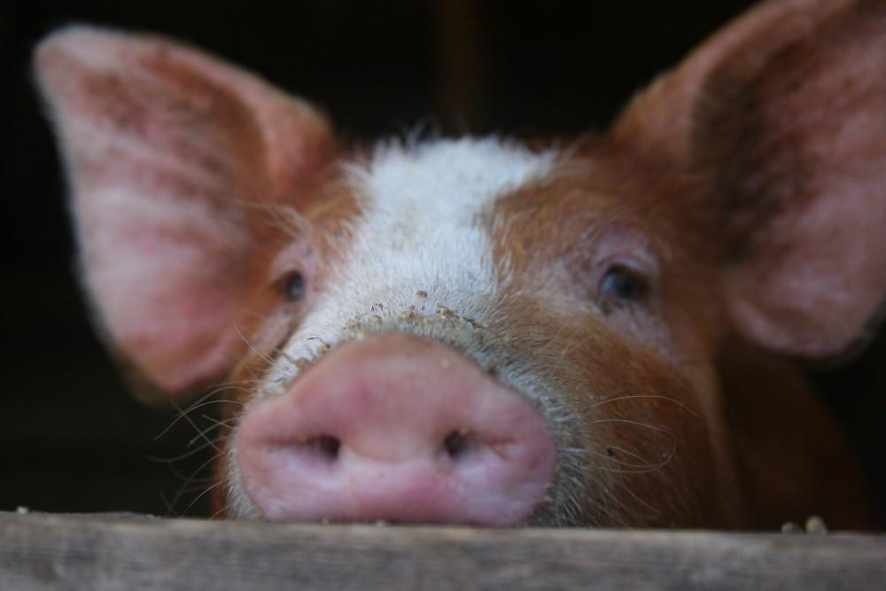 Peek-a-Boo-Pig.jpg