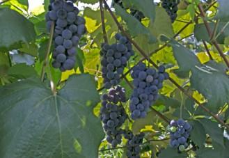 Concord Grape Juice Gallon