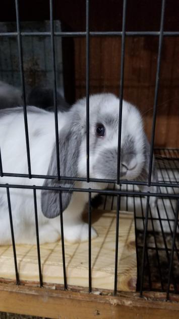 Pet Mini Lop Bunny Rabbits