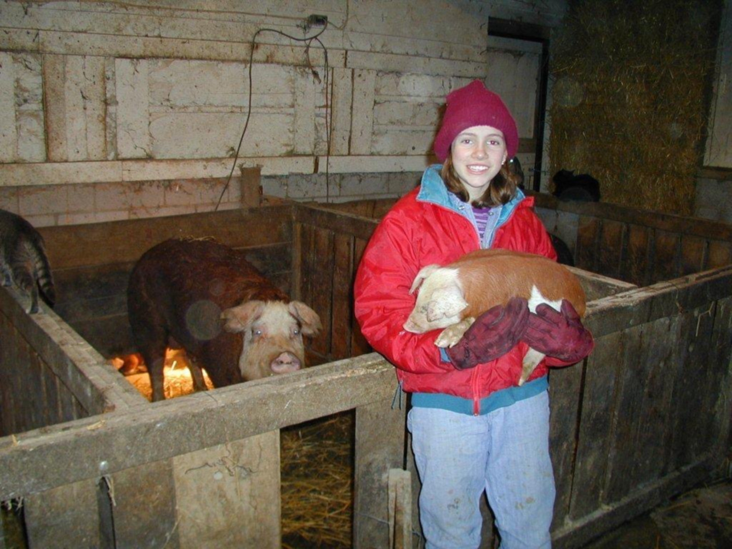 Young Erica with Hereford Pigs