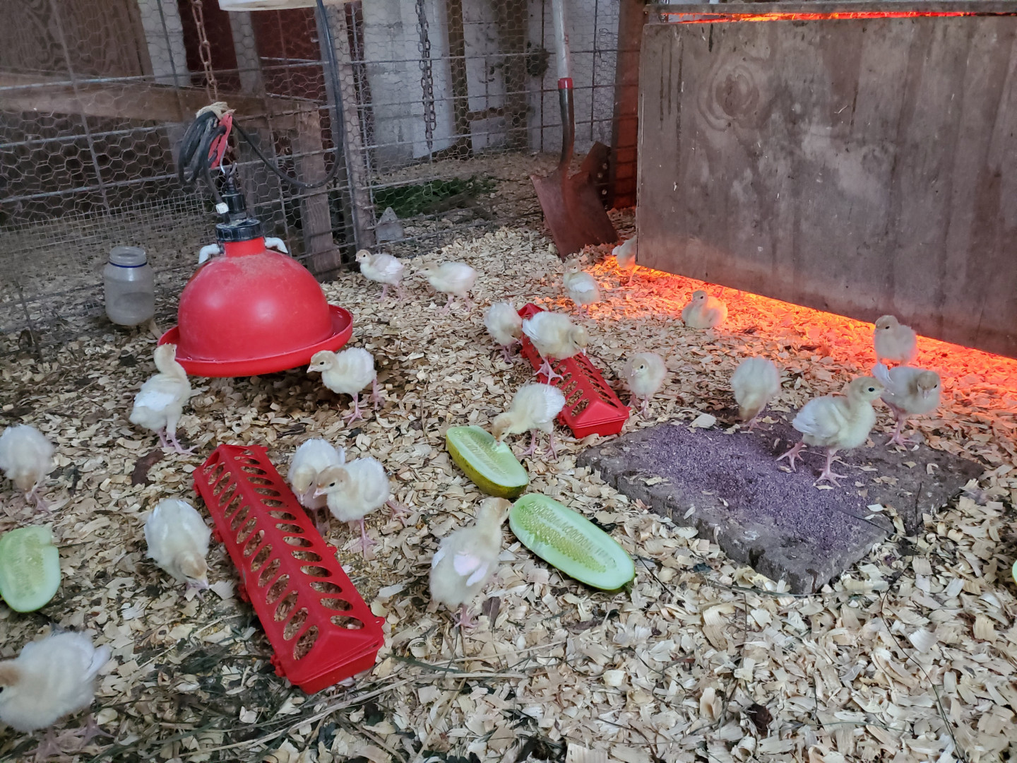Turkey Poults Cucumber snack in the brooder