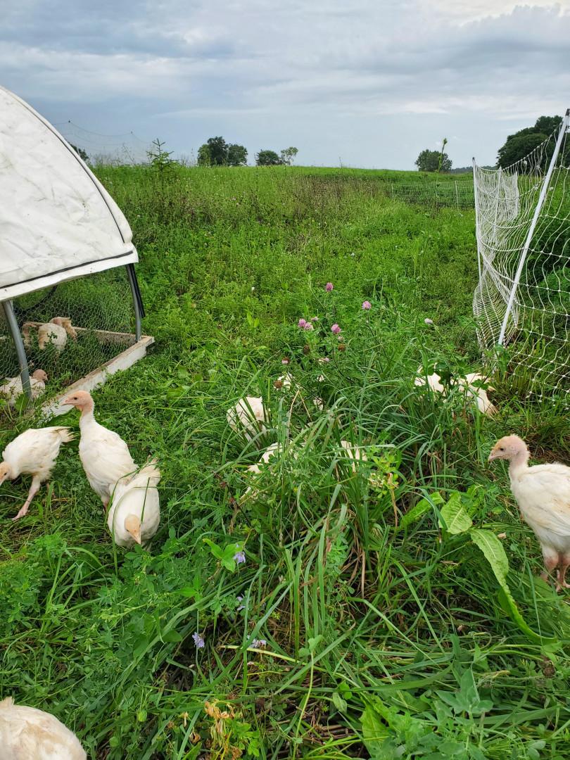 Turkeys foraging fresh pasture