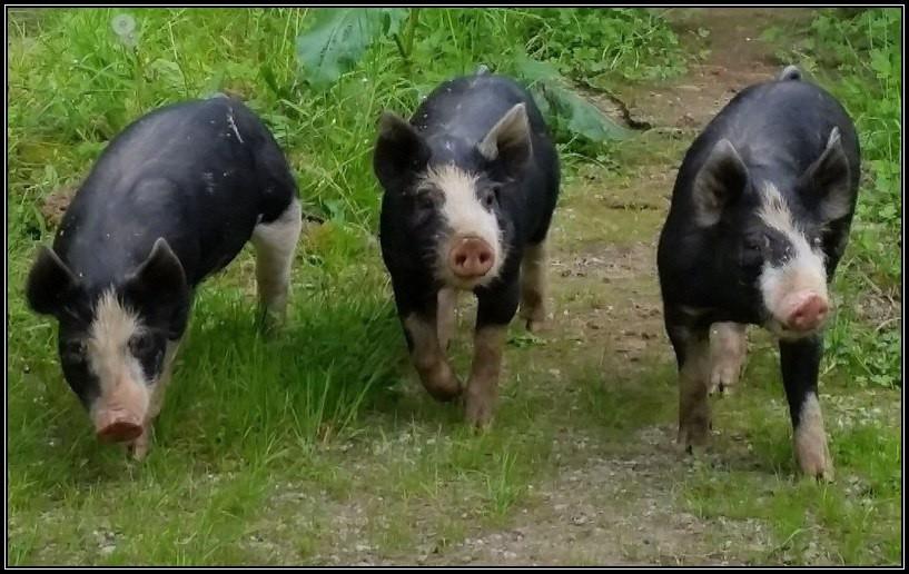 Pasture-raised Heritage Pork