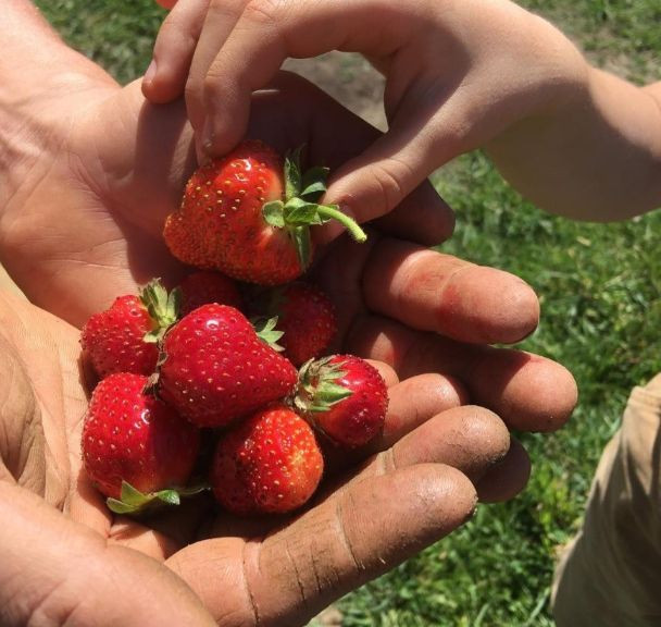 Strawberries at Skokomish Valley Farms