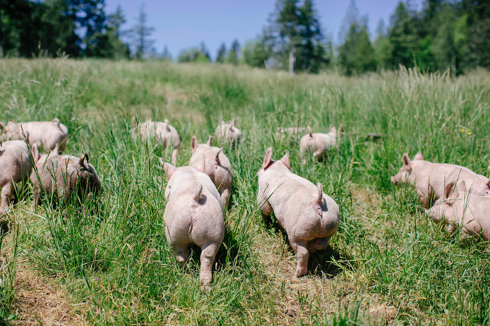 Hungry Hollow Pasture Raised Pigs