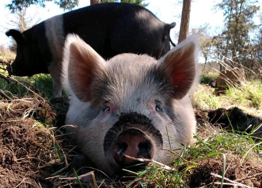 A Happy Pasture Raised Pig