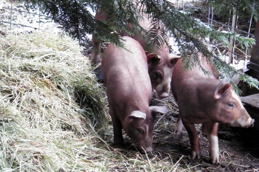 Pork - Half Pig Deposit 2017
