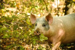 Heritage Breed Pigs