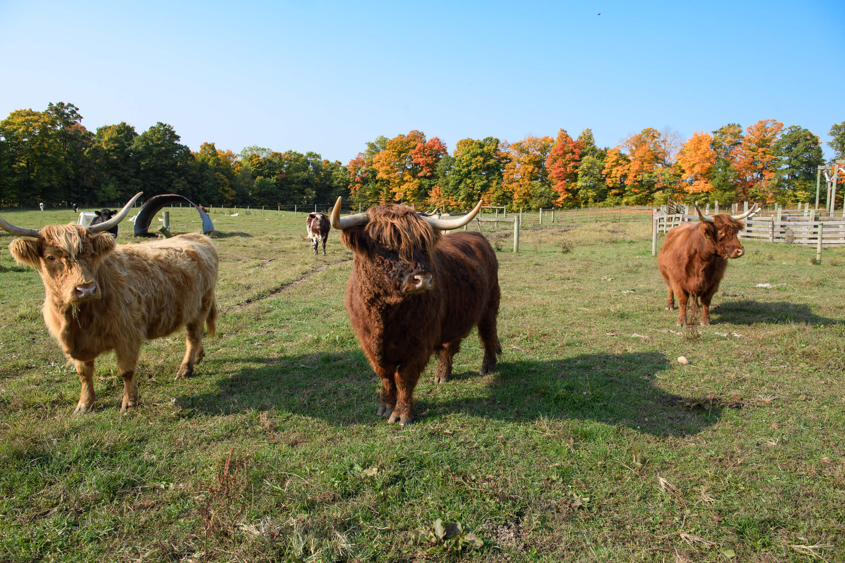 Grass-fed cattle at Jake's Country Meats