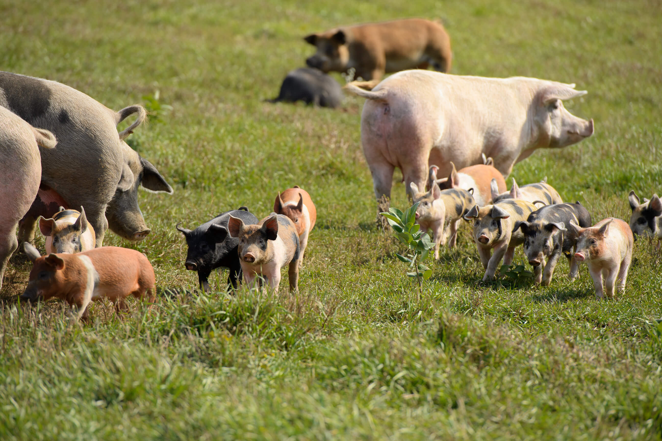 Pasture Raised Pigs at Jake's Country Meats