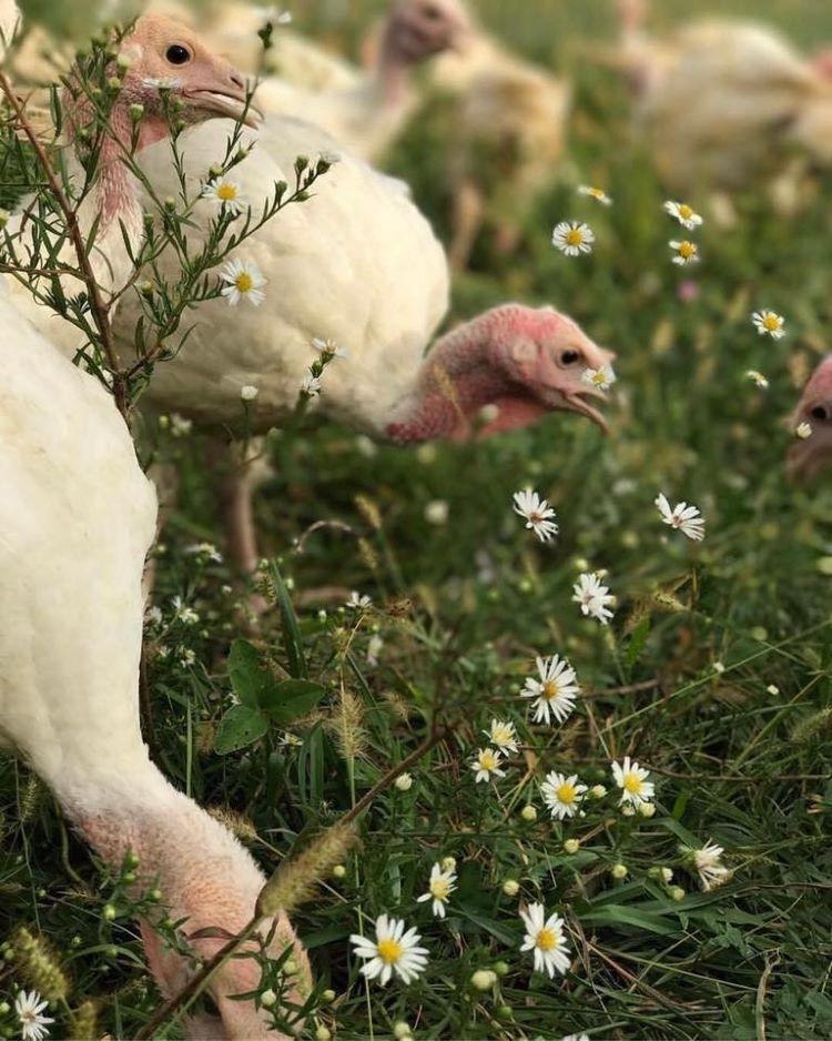 Grass Fed Turkey