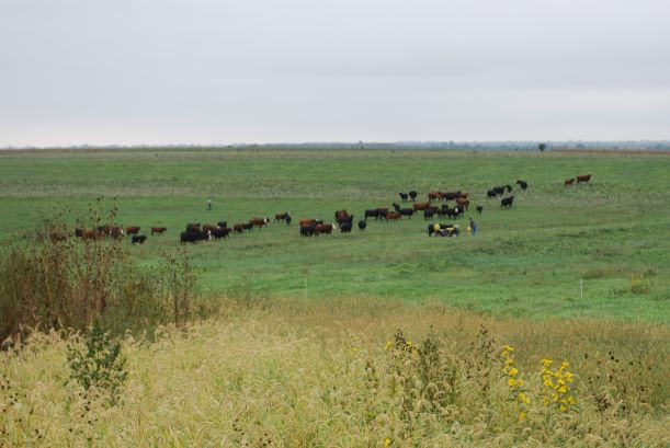 fall-cattle-moving.JPG