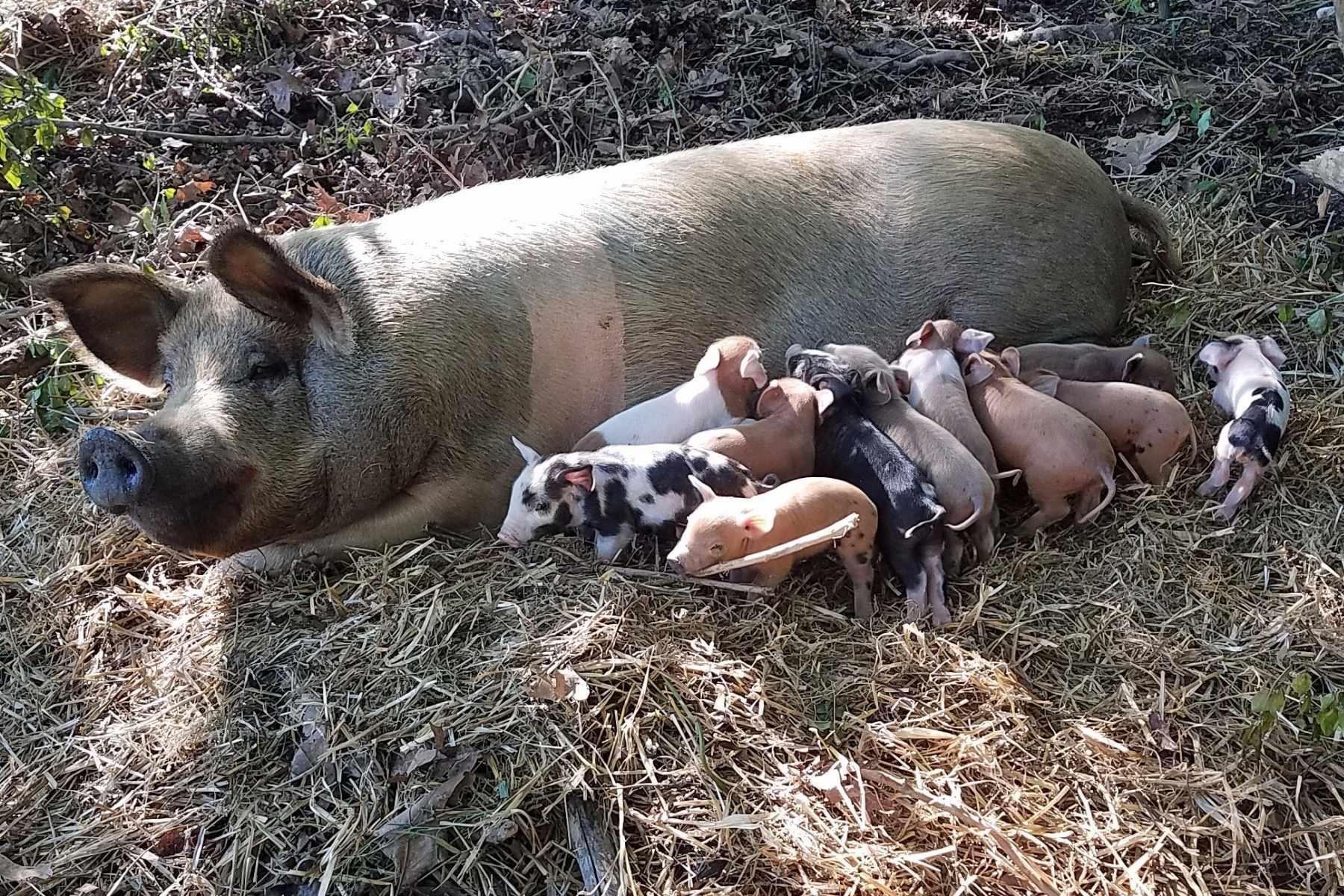 J&L Green Farm Forest & Pasture Raised Pork