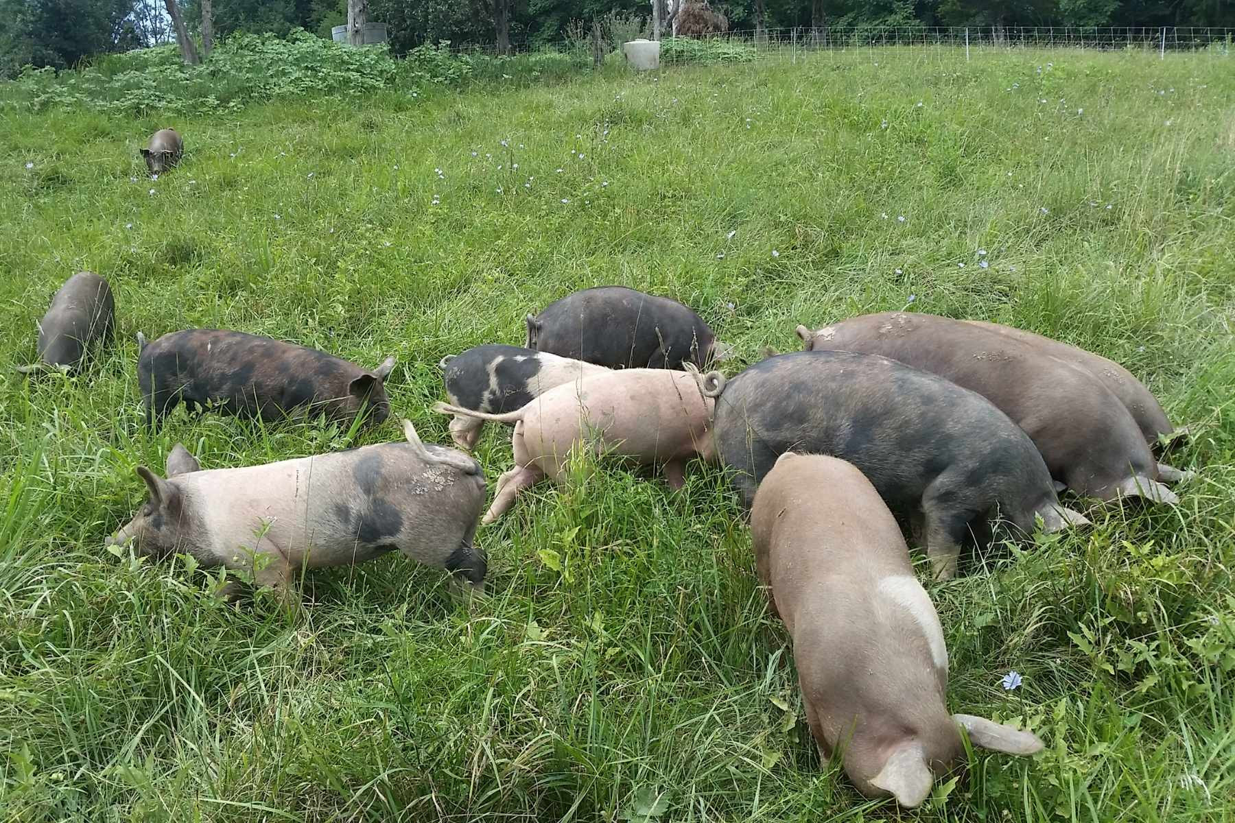 Pasture & Forest Raised Pork