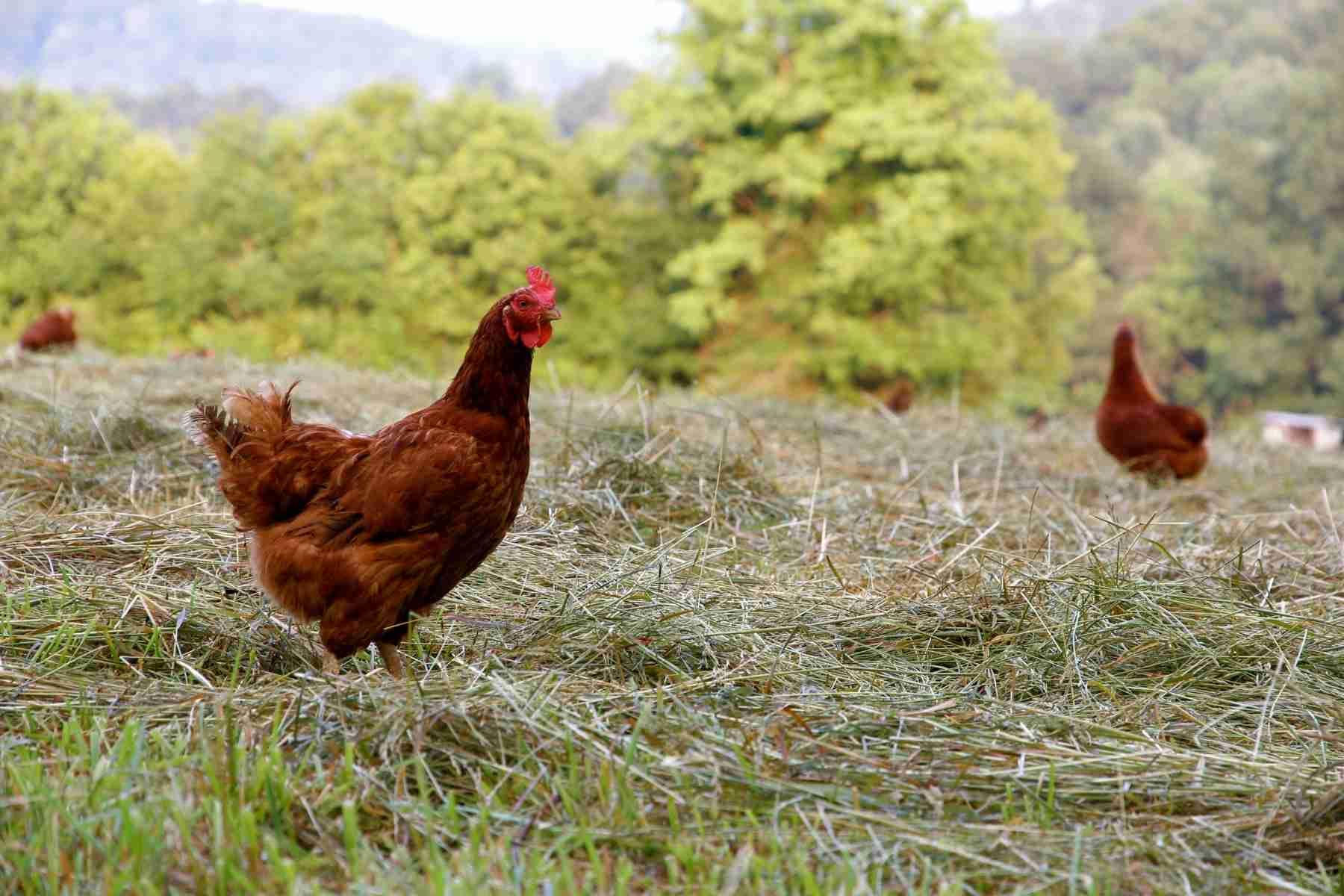 J&L Green Farm Pasture Raised Chicken